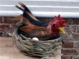 Hen In Basket